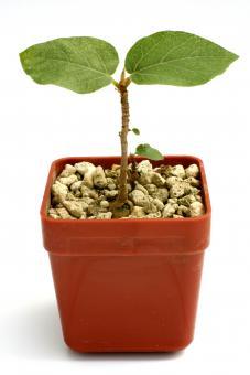 Ficus spec. Y. $ Jemen