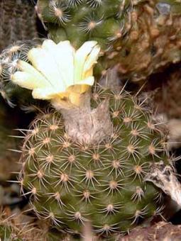 Frailea parviflora nom. prov.