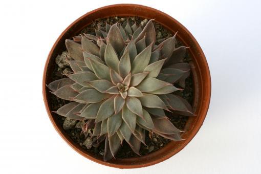 Graptopetalum rusbyi Arizona, Mexico, USA