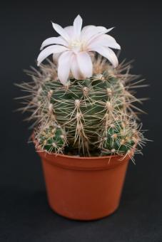 Gymnocalycium bruchii f. spinosissimum *3^