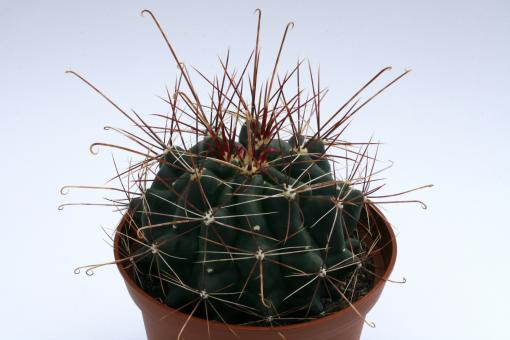 Hamatocactus hamatacanthus Rancho el Perdido, Tam, MEX