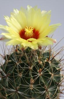 Hamatocactus setispinus v. setaceus *3^ Starr Co., TX, USA