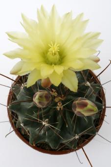 Hamatocactus sinuatus