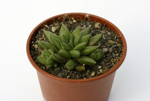 Haworthia cymbiformis v. reddii