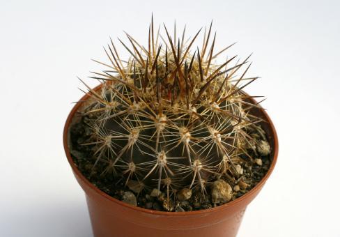 Horridocactus albicans n.n.