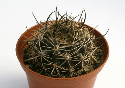 Horridocactus pectoralis n.n.