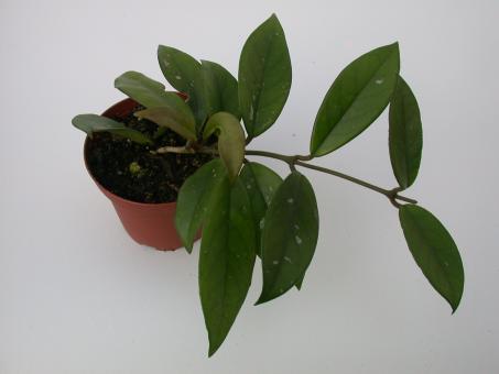 Hoya carnosa cv. rote Blüte IPPS0254
