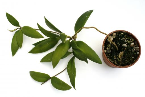 Hoya micrantha IPPS0014