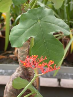 Jatropha podagrica Y.