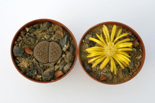 Lithops hookeri ssp. subfenestrata