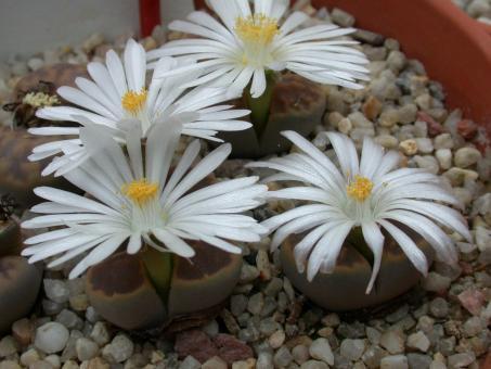 Lithops karasmontana ssp. lericheana