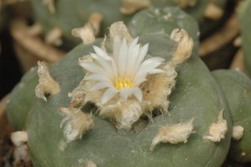 Lophophora diffusa %