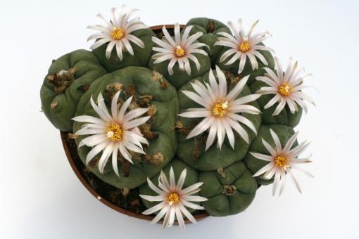 Lophophora williamsii v. caespitosa %