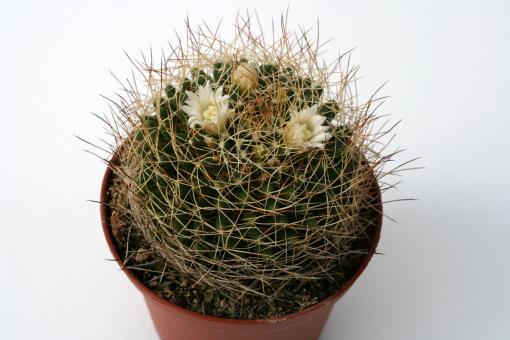 Mammillaria albescens
