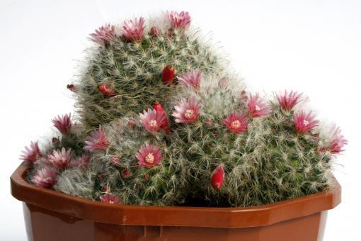 Mammillaria bocasana fl. rubra