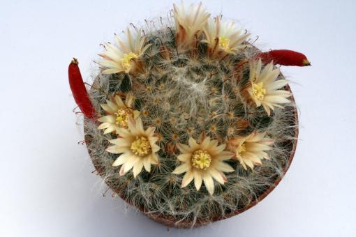 Mammillaria bocasana SB524 w. of San Luis Potosi, MEX