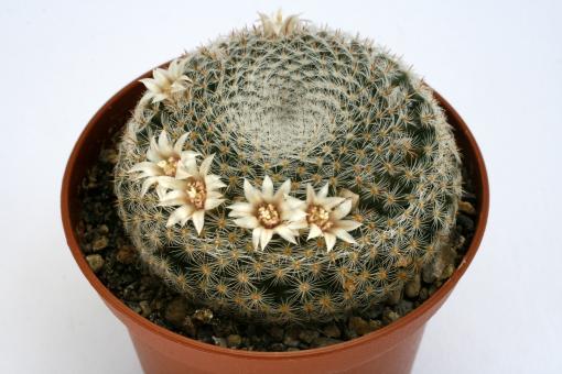 Mammillaria microthele v. superfina