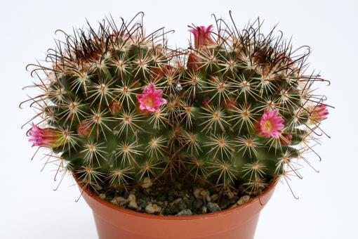 Mammillaria rekoi SB581 Mitla, Oax, MEX