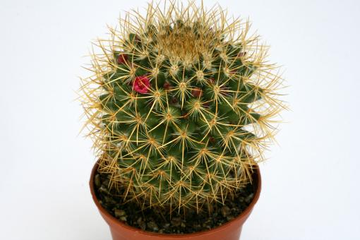 Mammillaria rhodantha v. aureiceps