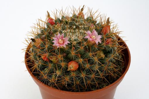 Mammillaria wiesingeri Zacualtepan, Hgo, MEX