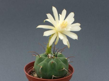 Matucana madisoniorum f. albiflora %