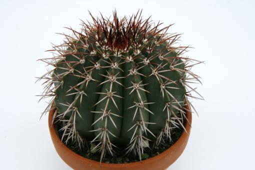 Melocactus conoideus §