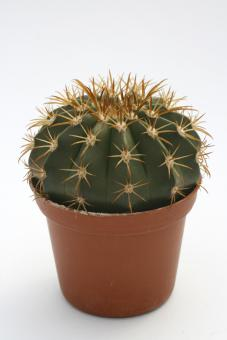 Melocactus disciformis