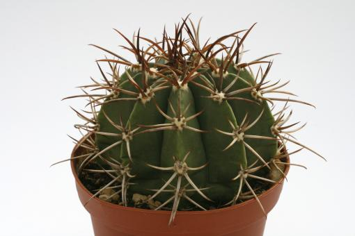 Melocactus neryi %