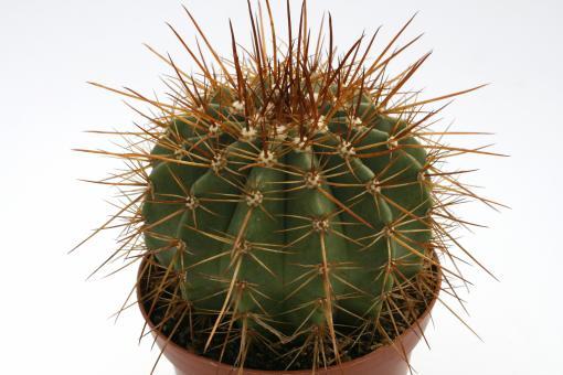 Melocactus oreas aff. $