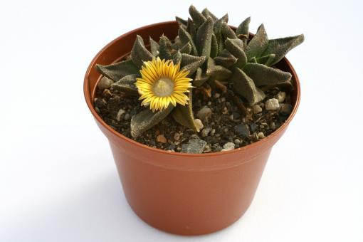 Nananthus transvaalensis *2^