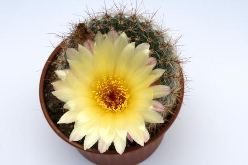 Notocactus bommeljei