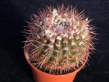 Notocactus erythracanthus Schl165 Dep. Tacuarembó, Urugay