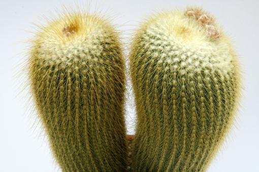Notocactus leninghausii Gruppe