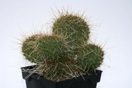 Opuntia hystricina Hamm *1^