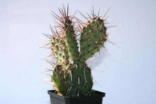 Opuntia rhodantha v. pisciformis *2^