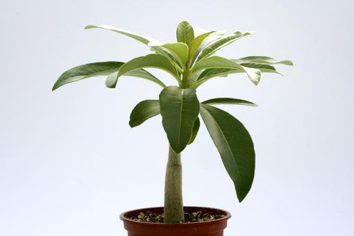 Pachypodium decaryi Y. § $ Madagascar