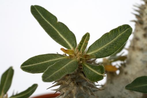 Pachypodium horombense % Y. Madagascar
