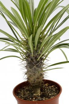 Pachypodium lamerei Y. Madagascar