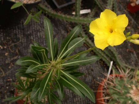 Pachypodium rosulatum Y. % Madagascar