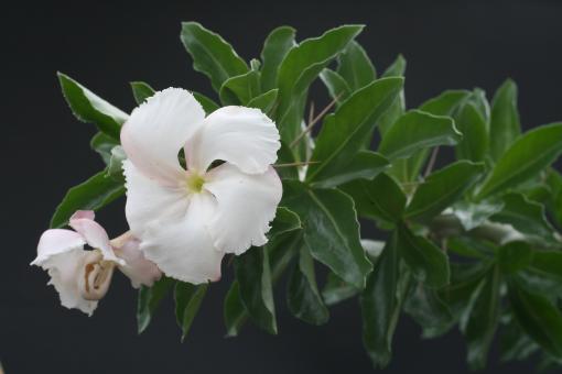 Pachypodium saundersii Y. Madagascar