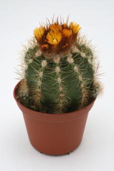 Parodia miguillensis