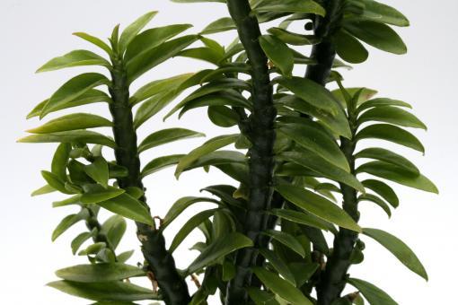 Pedilanthus tithymaloides ssp. smallii Nana Compacta