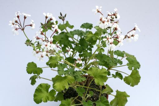 Pelargonium Fragrans-Hybride