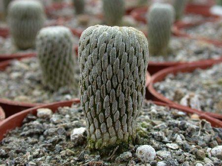 Pelecyphora aselliformis § % Ventura, CA, USA