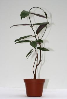Petopentia natalensis Y $