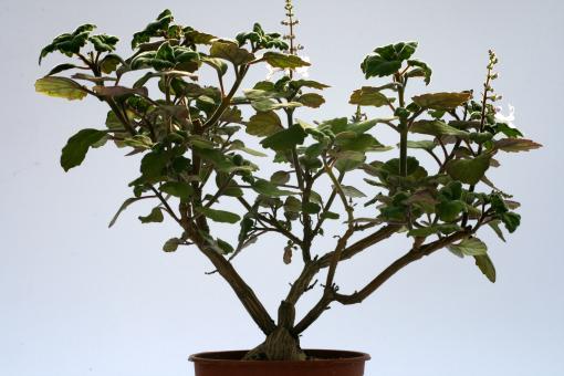 Plectranthus ernstii Y. $ Eastern Cape to KwaZulu-Natal, RSA