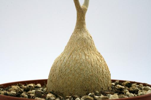 Pyrenacantha malvifolia Y. $ Iganda, Tanzania