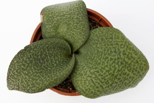 Resnova megaphylla ~ Roossenekaal, Limpopo, RSA