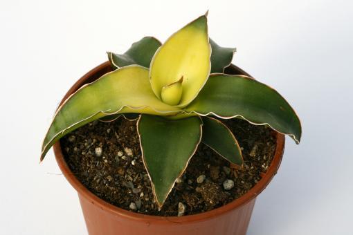 Sansevieria cylindrica Star Canary