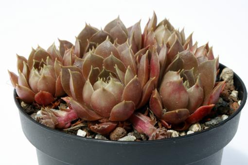 Sempervivum Brunneifolium *1